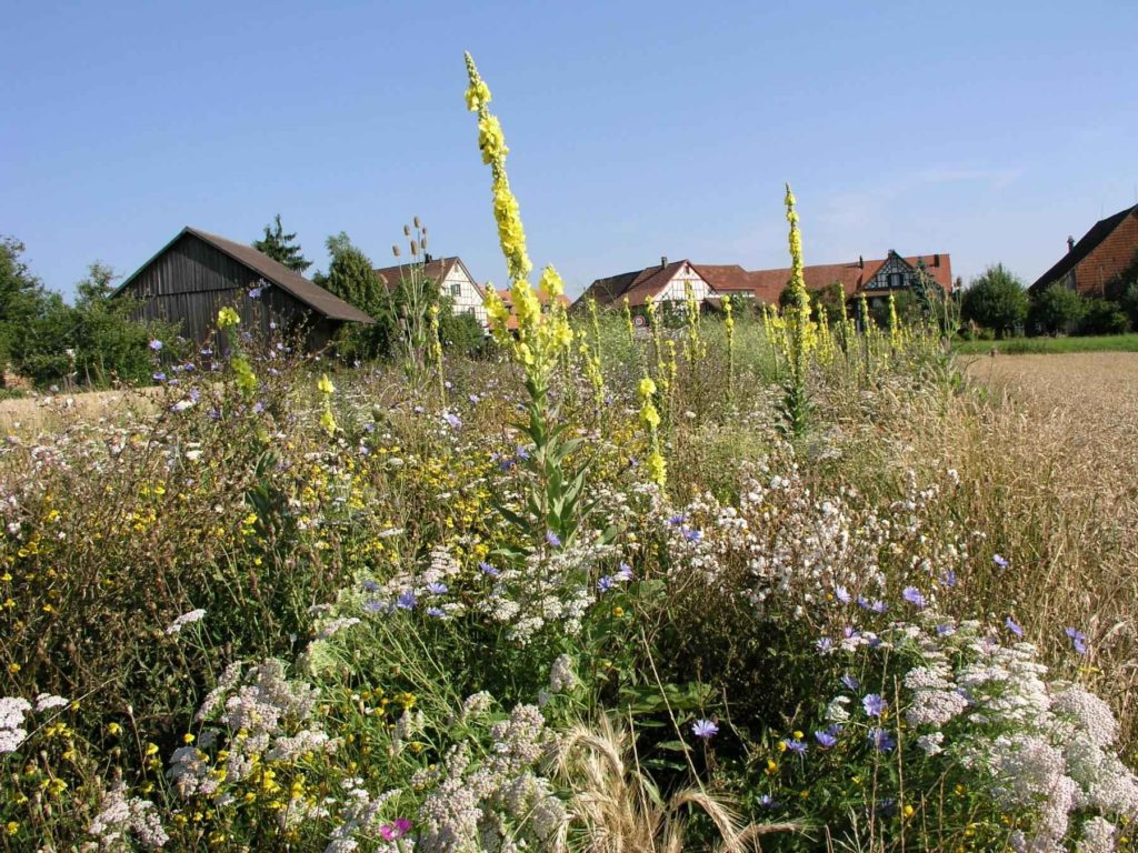 Bandes de fleurs pour pollinisateurs, promotion de la biodiversité
