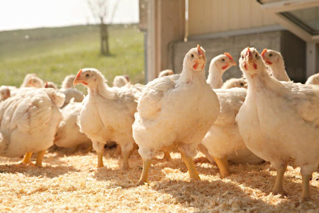 Le bien-être et la santé animale sont très importants pour les éleveurs suisses de poulets et autres volailles.
