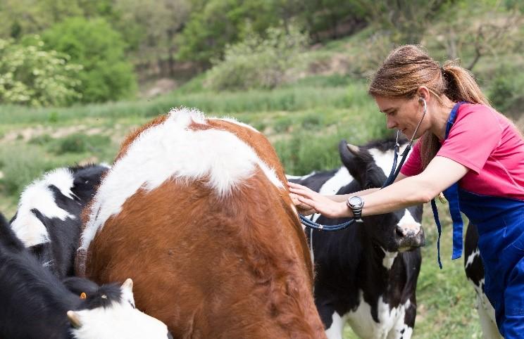 Les paysans suisses peuvent compter sur l'appui des vétérinaires pour soigner leurs animaux.