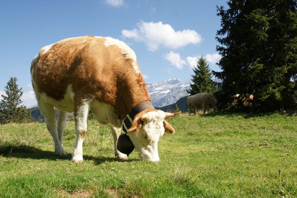 La Suisse a tout d'un pays d'herbages, dont les vaches se nourrissent.
