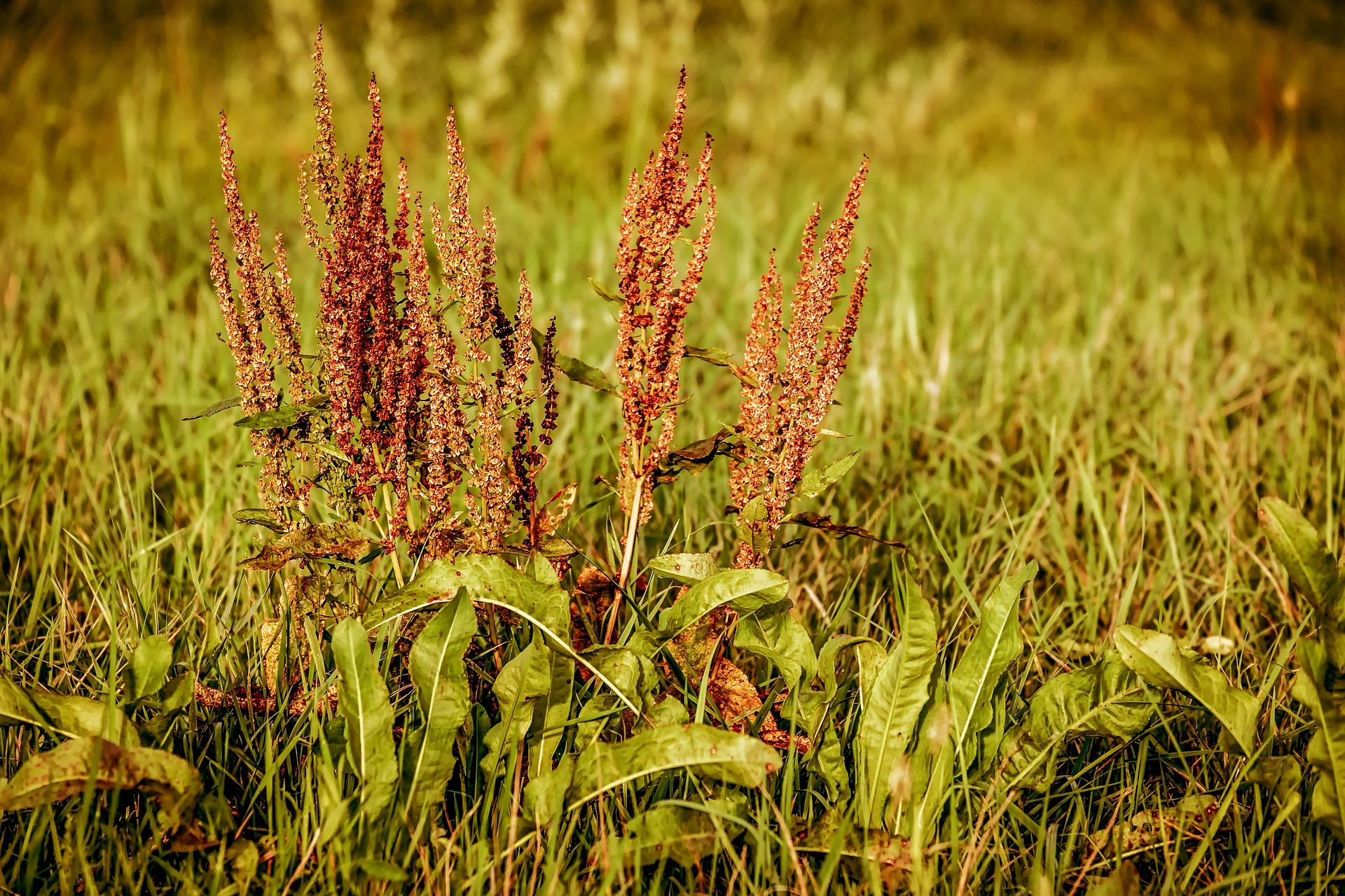 La lutte contre les mauvaises herbes dans les prairies et pâturages sans phytos, alors comment?