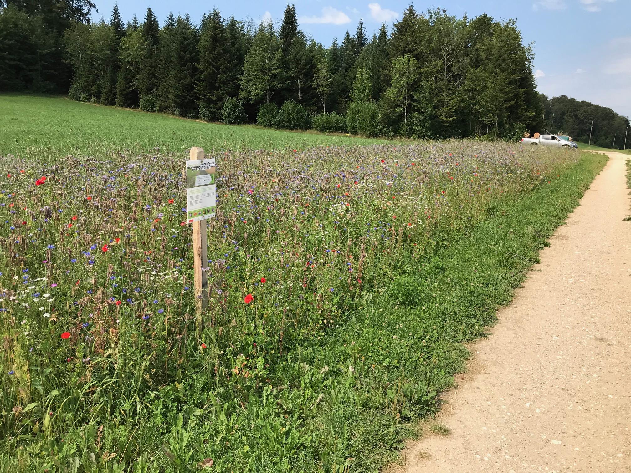 Bleuets et phacélies au goûter des pollinisateurs