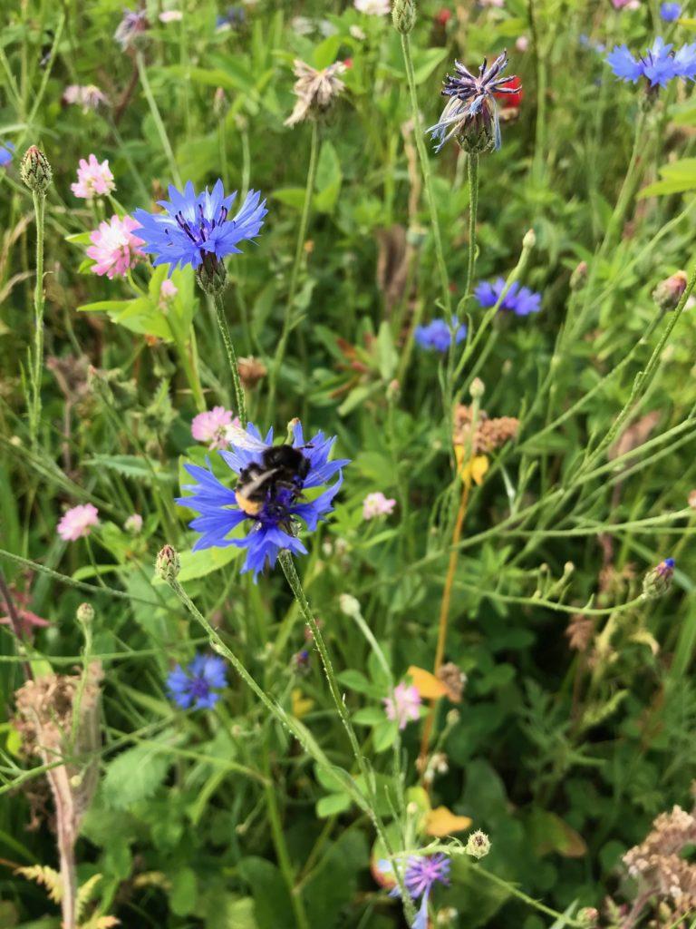 Les bandes fleuries favorisent la biodiversité.