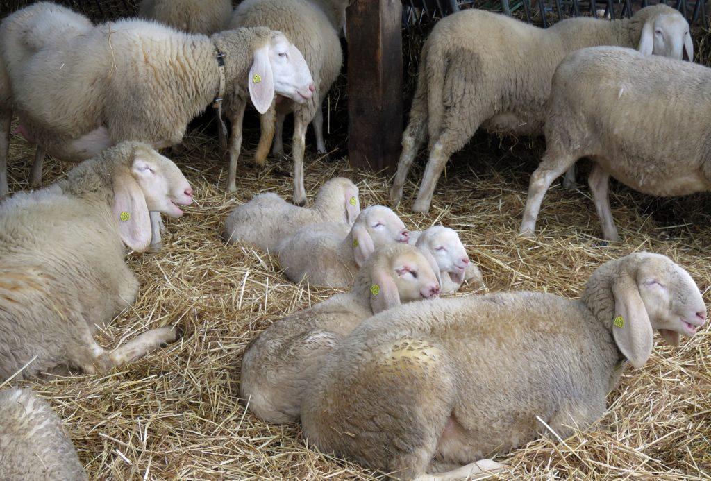 Le lisier et le fumier des animaux sont utilisés dans les champs sous forme d'engrais.