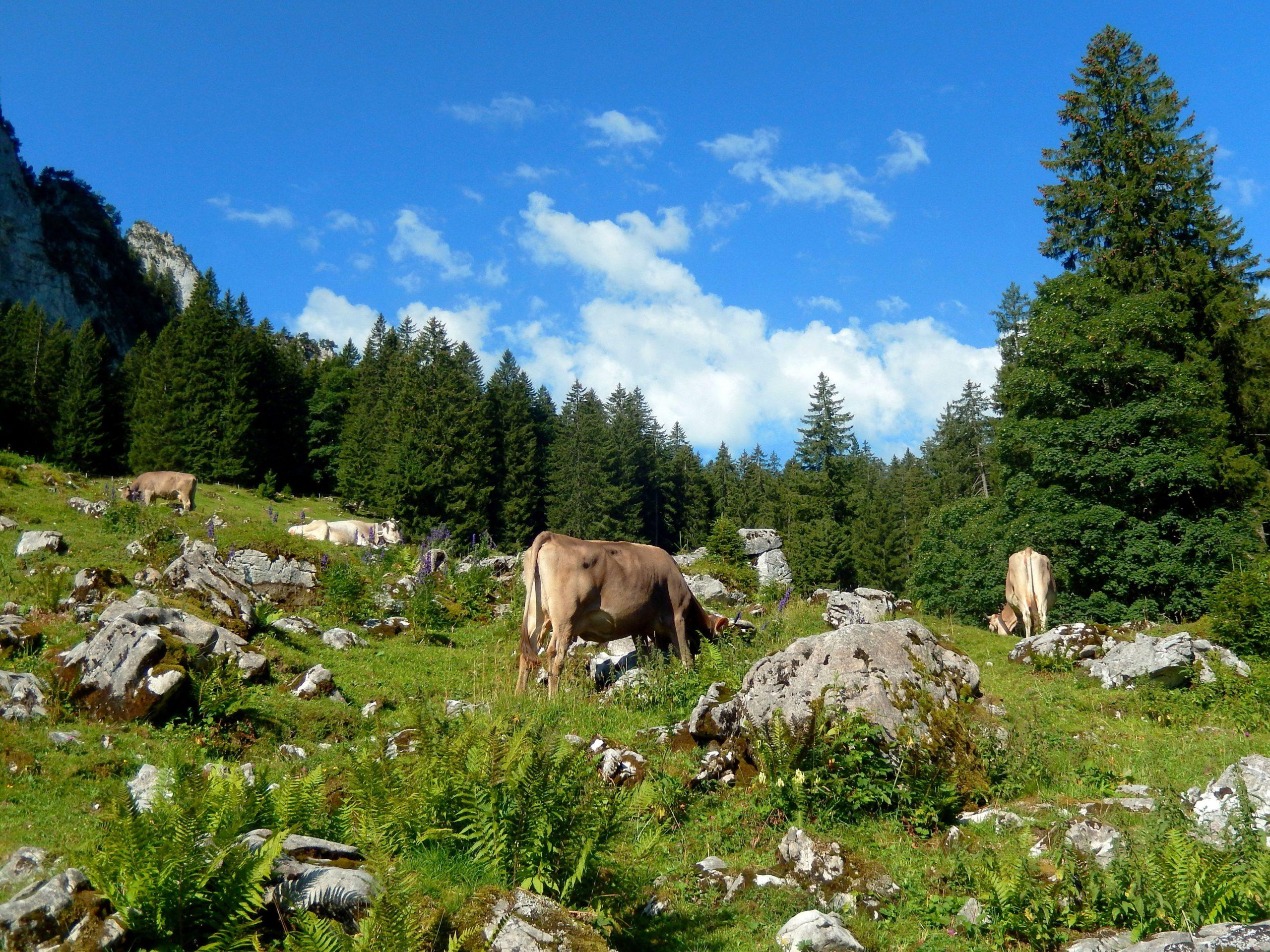 Petit éloge de l'élevage bovin et de ses avantages