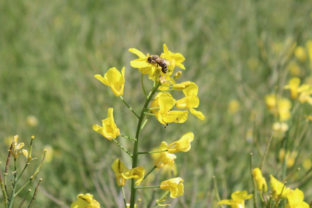 Une abeille butine une fleur de colza.