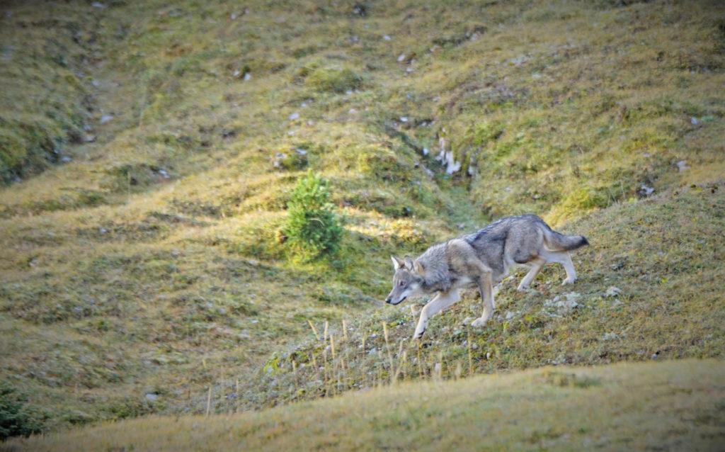 Jean-François Dupertuis a aperçu un loup cet été au Marchairuz. Celui-ci fait partie de la meute responsable de l'attaque d'un veau de sept mois. © J.-F. Dupertuis/Prométerre