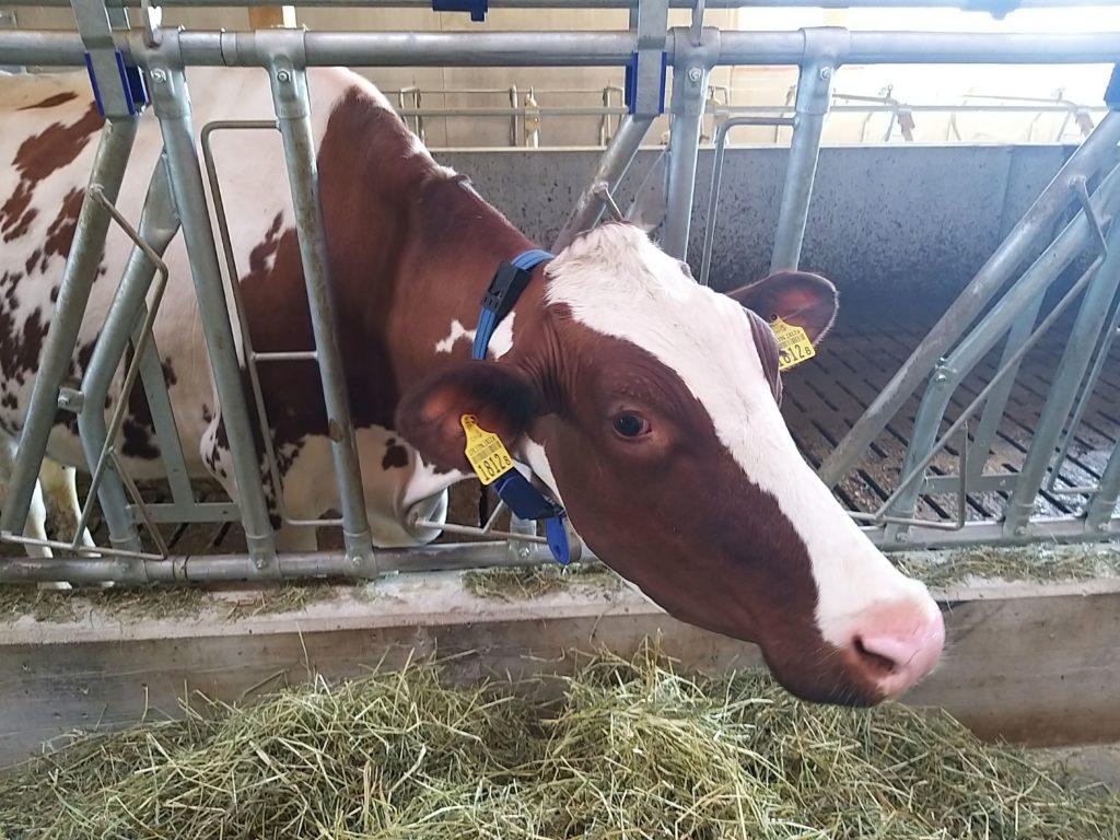 La vache Jenny avec son collier connecté.