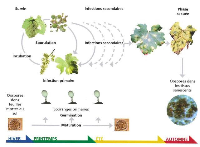 Le cycle de développement du mildiou