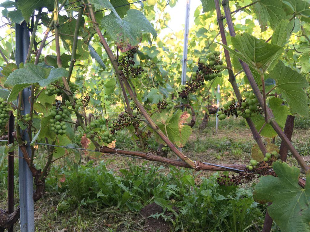 Les ravages du mildiou sur la vigne
